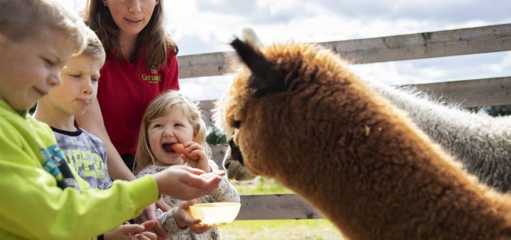 Alpakas beim Füttern